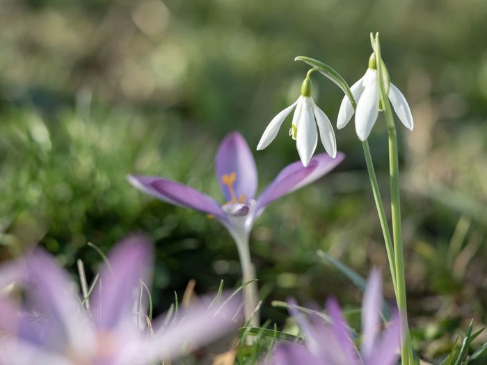 Close up of spring flowers in white and purple Baden-Württemberg  Flowers Crocus Snowdrop Flower Flowering Plant Plant Fragility Vulnerability  Beauty In Nature Petal No People Purple White Color Close-up Freshness Day Nature