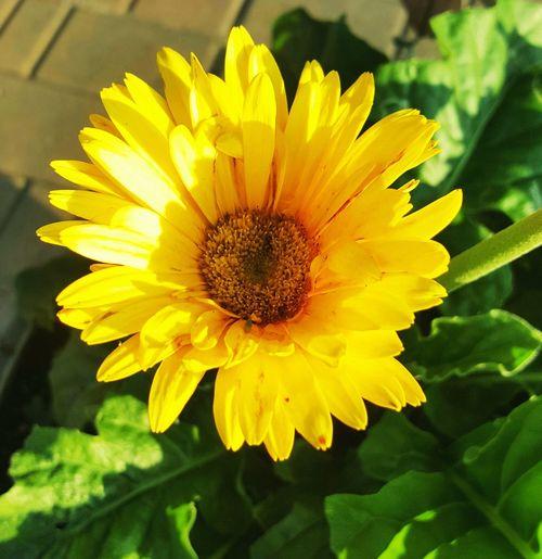 Gerber Daisy...golden like the sun. Flower Head Flower Yellow Petal Close-up Plant In Bloom Stamen