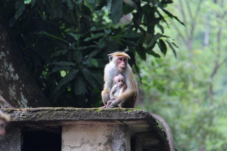 Monkeys sitting on retaining wall