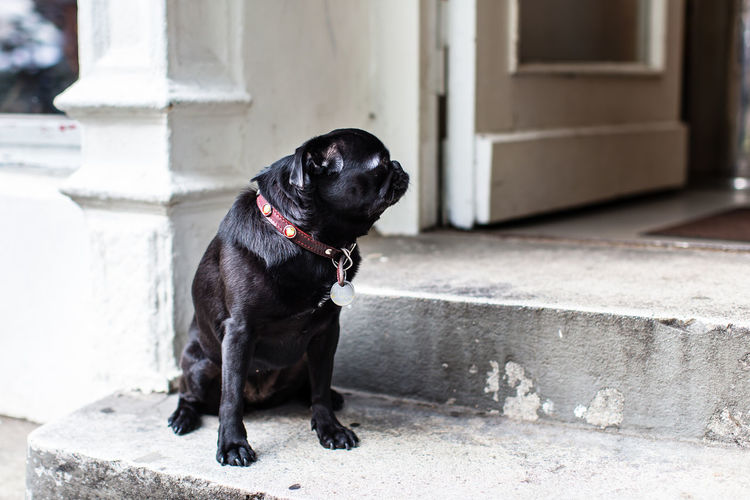 Pug Life III / with my Canon & 50 mm in Hamburg - (c) Nidal Sadeq Pug Pug Life  Waiting Animal Themes Architecture Black Color Building Exterior Built Structure Close-up Day Dog Dog Waiting Domestic Animals Focus On Foreground Full Length Mammal No People One Animal Outdoors Pets Sitting Steps
