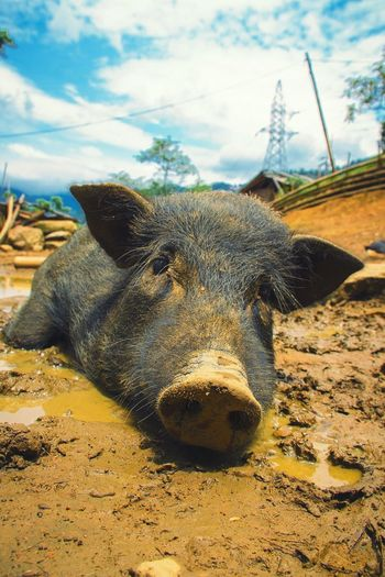 Like a Pig in Mud; Sleepy Mondays...