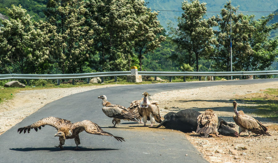 Vultures on road
