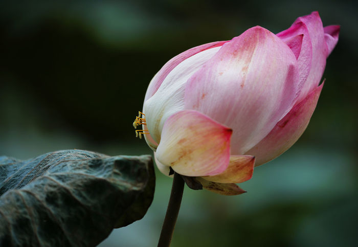 Beauty In Nature Bud Close-up Day Flower Flower Head Flowering Plant Focus On Foreground Fragility Freshness Growth Inflorescence Nature No People Petal Pink Color Plant Rosé Vulnerability