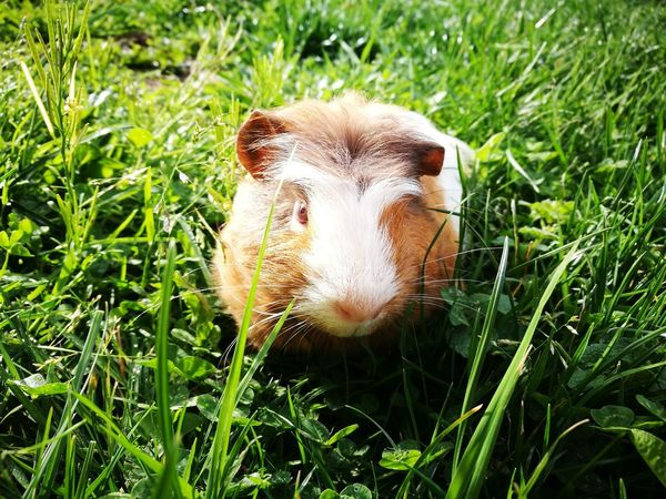 Pinky, the guinea pig. (Pinky, el conejillo de indias.) Guinea Pig Nature No Filters Needed Sunlight Field Grass Pets Conejillo De Indias Natural Sin Filtros Luz Solar Campo Yerba Mascotas BYOPaper! The Great Outdoors - 2017 EyeEm Awards The Portraitist - 2017 EyeEm Awards Pet Portraits Capture Tomorrow A New Perspective On Life