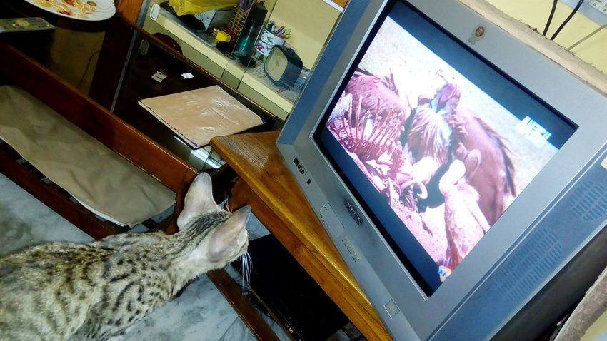 Ruby is watching TV.. 😀 Indoors  No People Day Close-up Television Computer Monitor Technology Science Animal Themes Mammal Animal Domestic Cat Cat Feline Kitten Cute Portrait Domestic Animals Pets One Animal Cat Watching TV Pet Portraits