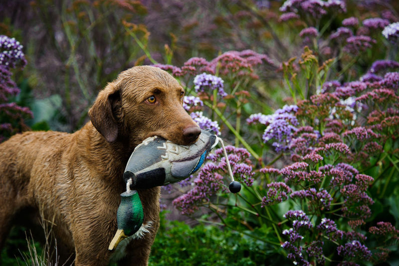 Chesapeake bay retriever carrying toy in mouth