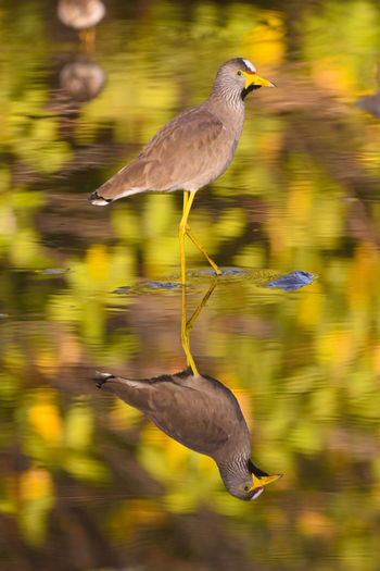 mirror image... African wattled lapwing Birds Of EyeEm  Bird Photography Birdwatching Wildlife Water Refections In The Water Reflection_collection Animal Wildlife One Animal Reflection Water Animals In The Wild Motion Outdoors Nature Day Multi Colored No People Animal Themes Close-up
