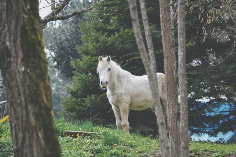 Cheval Blanc Arbre Animal Photography