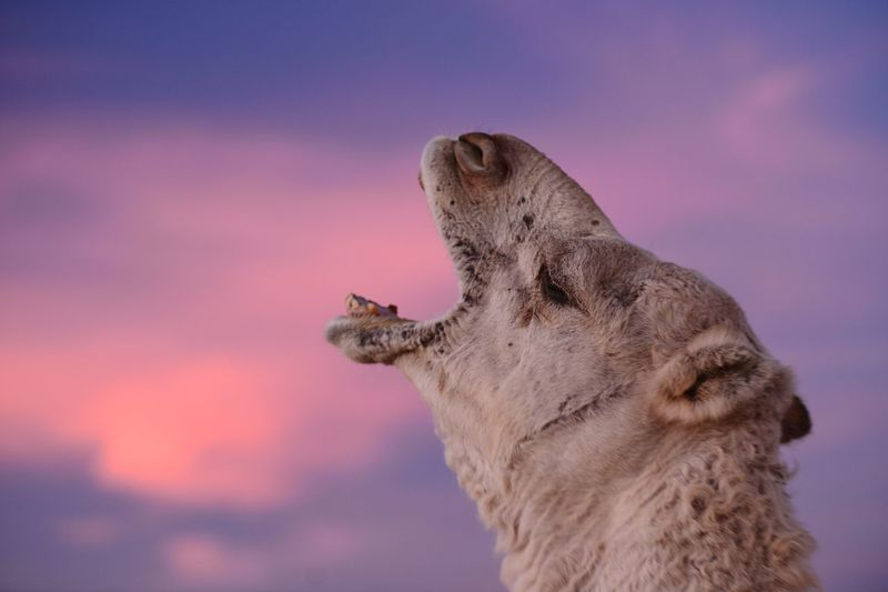 Close-Up Of Camel Yawning Against Sky During Sunset
