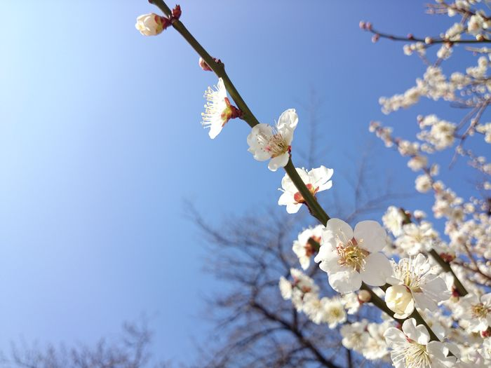 spring Spring Flowers Tree Branches And Sky Nature White Color Sky Plant Blossom Shinjuku-gyoen Tokyo,Japan Blooming Cherry Blossom Plant Life Cherry Tree