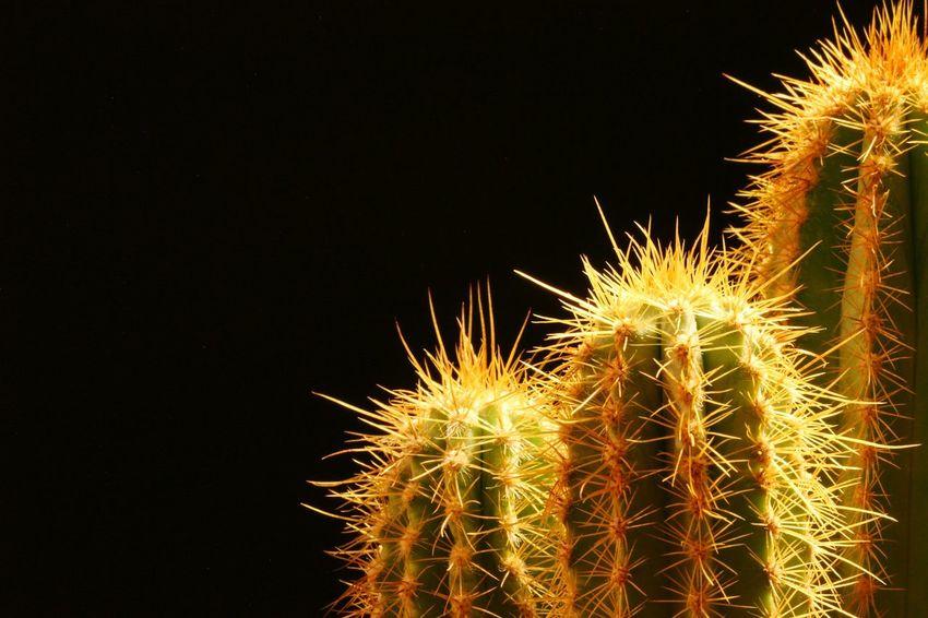 Succulents, Cacti, Flowers, Cicek, Plants, Agaclar, Macros,#closeups, Photos, Photographers, Photography, Like4like, Likeforlike, Canon,  7d, Wonderful,#amazing, Awesome, Followme, Shot, Shots, Art, Macro Photography Macro_collection Plant Like SucculentsLover Picoftheday Succulent Flower EyeEmNewHere Makro Illuminated Close-up Thorn Cactus Barrel Cactus
