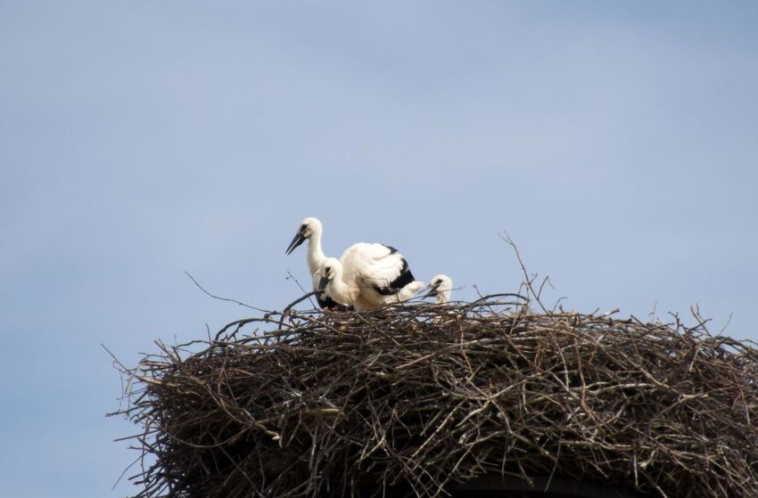 Three young storks in the nest Animal Themes Animal Wildlife Animals In The Wild Bird Bird Nest Bird Photography Birds Birds Of EyeEm  Birds_collection Birds🐦⛅ Ciconia Ciconia Clear Sky Day EyeEm Birds Low Angle View Nature No People Outdoors Perching Sky Stork Three Birds White Stork Young Bird Young Stork