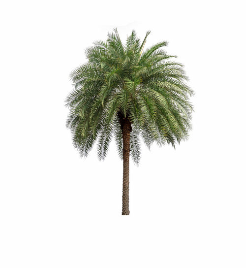 Palm Tree in