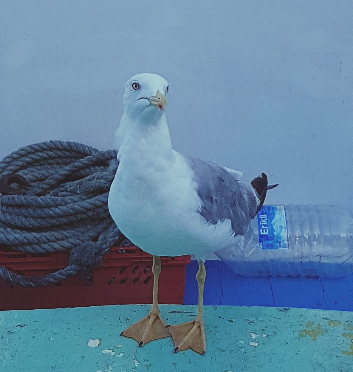 bird, animal themes, animals in the wild, one animal, day, animal wildlife, no people, seagull, nature, outdoors, perching, water, close-up, mammal