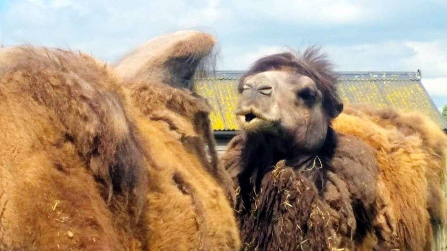 Nice hump🐫...Camels Zoo Photography  Nature Camel Hump Outdoors