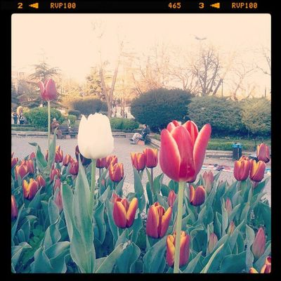 tulips time in istanbul