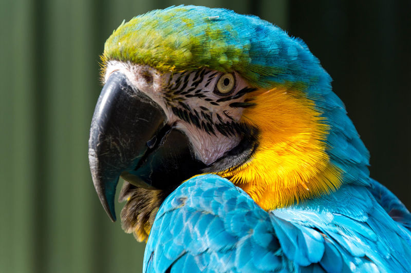 Extreme Close-Up Of Blue And Gold Macaw