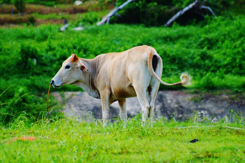 Side view of a cow on field