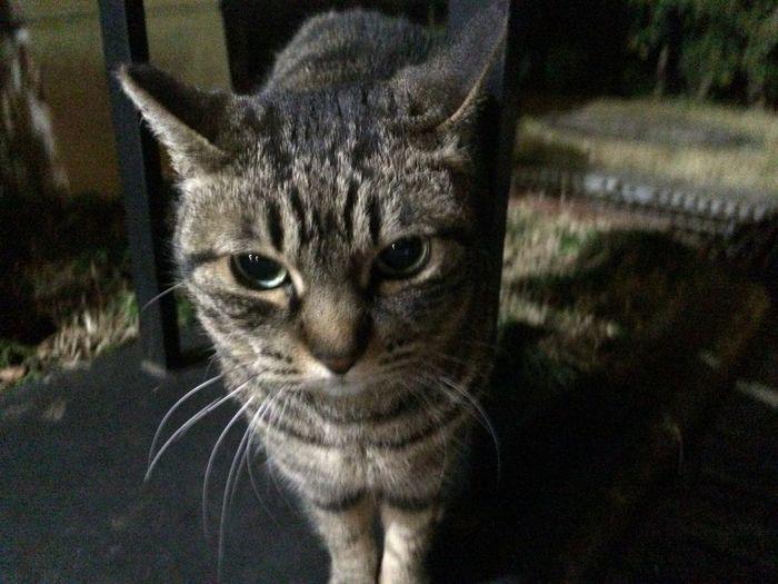 Stray Cat 野良猫 夜ねこ 走り猫 キジトラ