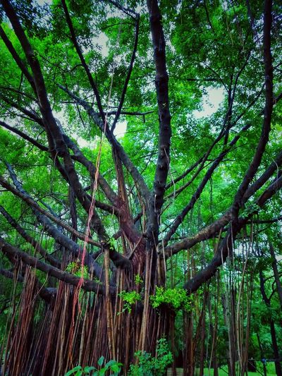 Tree Photography Tree View Low Angle View Banyan Banyan Tree Banyan Root Banyan Tree Roots Banyan Tree Trunk Beautiful Nature Beauty Of Nature Beauty Of Tree Tree In The Park The Park Big Tree Big Truck Nature Photography Tree In Nature Tree Tree Trunk Green Color Tree Area