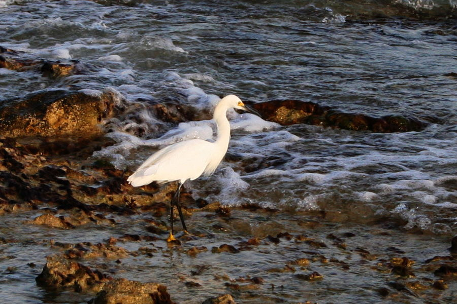 2007 Dominican Republic Dominicus Beach Animal Themes Animals In The Wild Bird Day Great Egret No People One Animal Outdoors Water Waterfront
