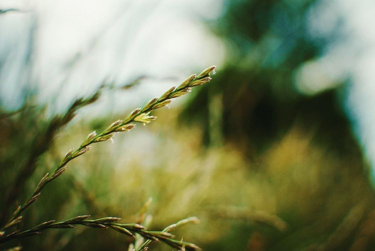 Backgrounds Background Nature Nature_collection Nature Photography Grass Green Bokeh Photography Outdoor Photography EyeEm Best Shots EyeEm Nature Lover Focus Focus on the Story Close-up Plant Cereal Plant In Bloom Plant Life Botany Pollen Blossom Growing Flower Head