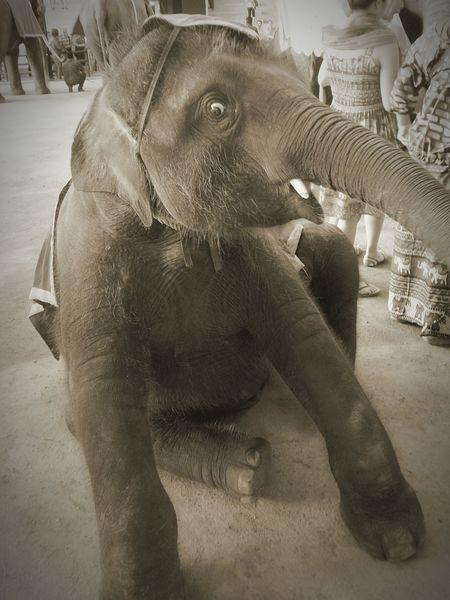 Thailand Elephant Grey Elephant Nature Park Nong Nooch Tropical Bothanical Garden