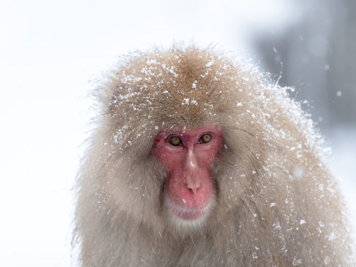 Portrait of monkey covered with snow