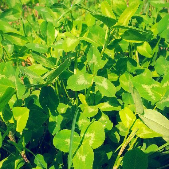 Green Natuta Quadrifoglio Trifoglio Parco Photo Mylife Instaitalia Natgeo