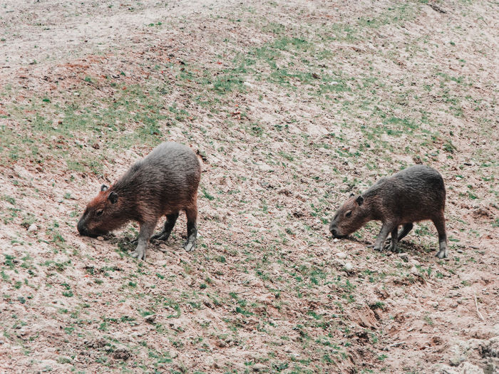 High angle view of capybaras on field