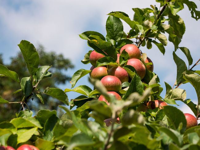 Ripe and unripe apples on the tree in front of cloudy sky Day Food Food And Drink Freshness Fruit Growth Healthy Eating Leaf Nature No People Outdoors Plant Plant Part Ripe Tree
