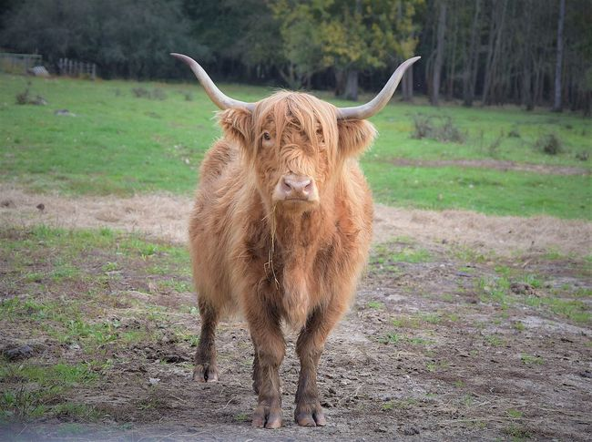 Highland Cattle Cute Cown Animal Themes Mountain Cool Mammal Hay Face HEAD Lifestyles Nature Field Forest Trees wildlife