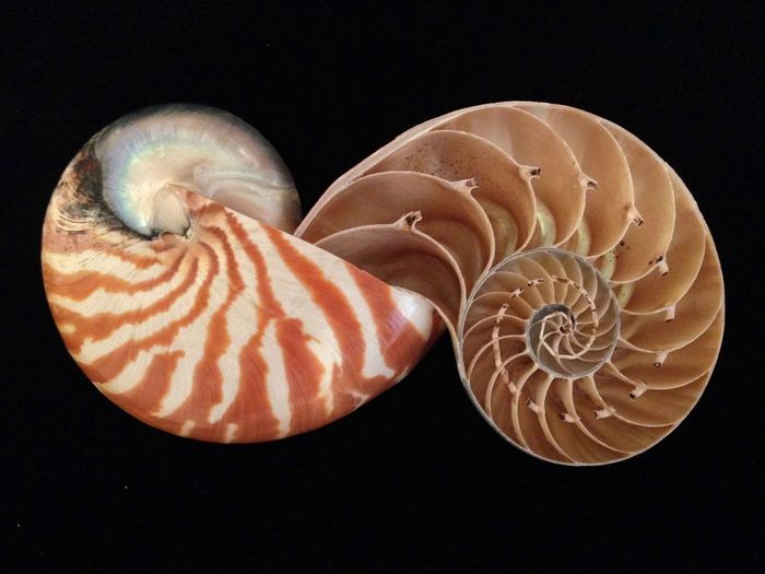IPSPerspective IPhoneography Shell Nautilus Perspective Spiral IPS2016Stillife Minimalist IPS2016Stilllife