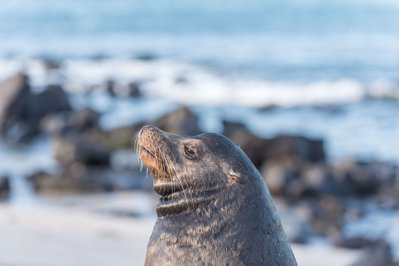 Galapagos Islands San Cristobal Galapagos Ecuador South America Marine Life Wonderful Nature Sealion  Boss Alphamale Sea Beach Animal Wildlife Focus On Foreground Day One Animal Close-up Animals In The Wild Water Outdoors Mammal Nature Animal Themes Sea Life
