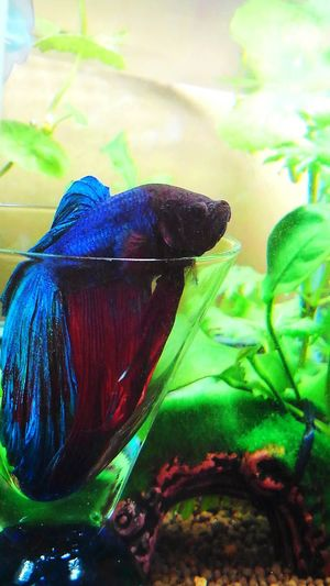 ベタカクテル  my lovely bettafish Betta Splendens Betta Fish Bettafishcommunity Animal Themes Water Swimming No People Nature Beauty In Nature Freshness Aquarium Day Underwater One Animal Animals In The Wild