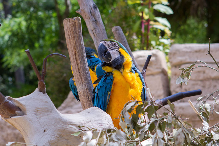Gold And Blue Macaws Perching By Wooden Post