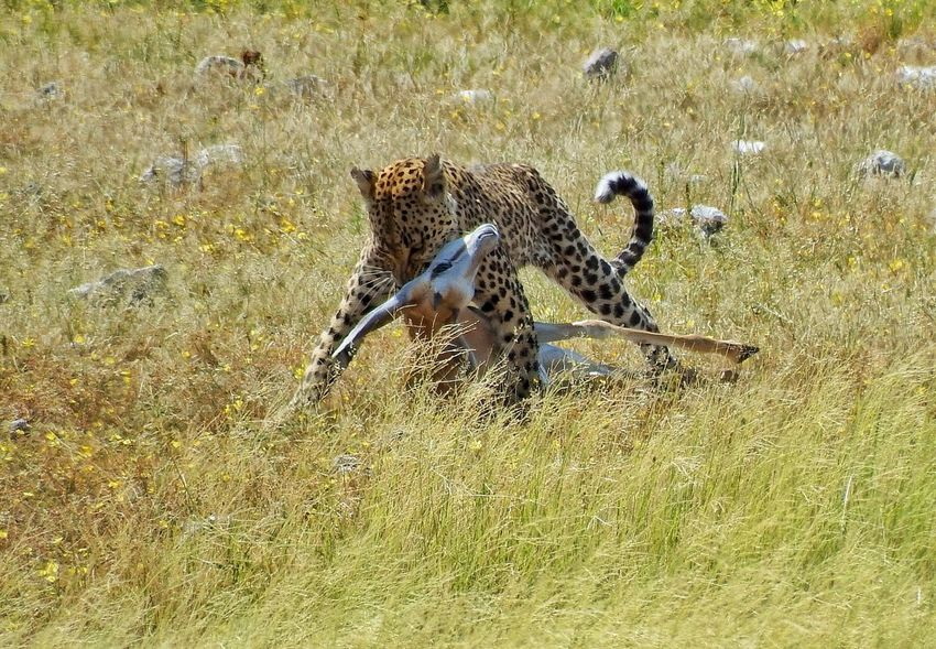 Leopard Leppard Hunting Hunter Animals In The Wild Nature's Diversities Adventure Club