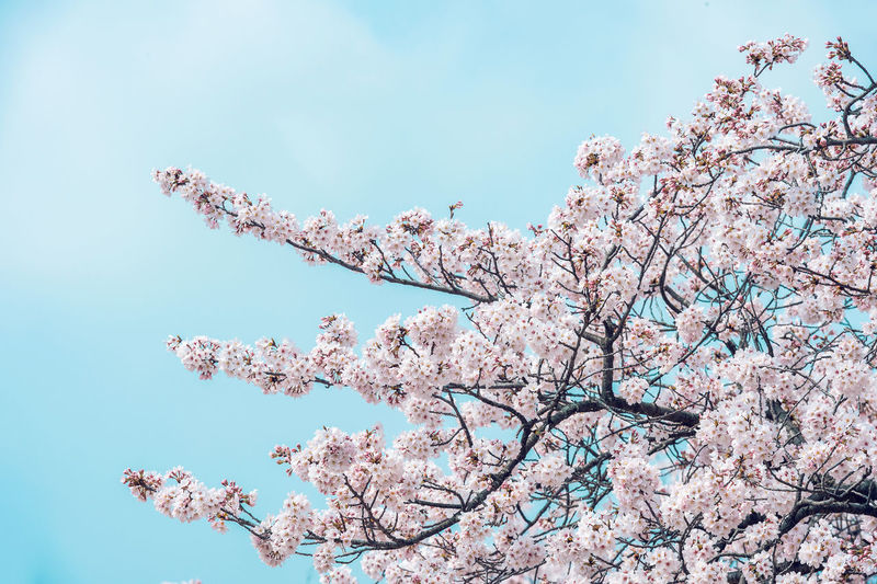 Low Angle View Of Pink Cherry Blossoms In Spring Against Sky