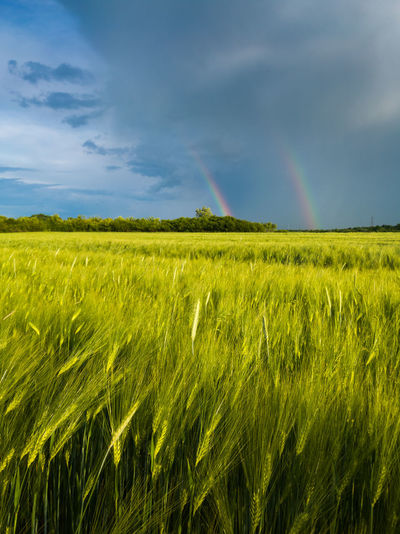 Double bright colorful rainbow in front of gloomy clouds above an agricultural field with wheat