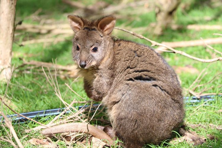 Close-up of wallaby looking away