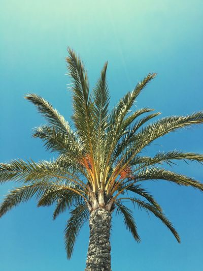 Low Angle View Palm Tree Tree Trunk Tree Growth Beauty In Nature Nature Sky Day Blue Single Tree Tall - High Palm Frond Palm Leaf Branch