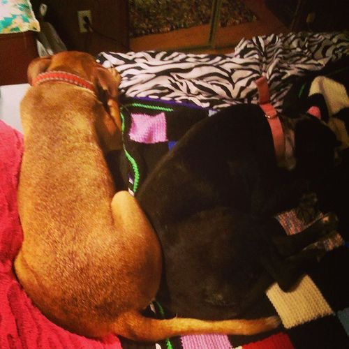 They'll get annoyed with each other all day, but will fall asleep like this ? Bordercolliemix Pitbullmix Bedtime Crochetedblanket