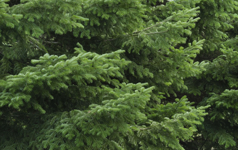 Green spruce branches as a textured background. Backgrounds Beauty In Nature Close-up Coniferous Tree Day Foliage Food And Drink Forest Freshness Full Frame Green Color Growth High Angle View Leaf Lush Foliage Nature No People Outdoors Plant Plant Part Rainforest Tree Tree; Green; Spruce; Fir; Environment; Forest; Nature; Tree Branch; Park; Plant; Forestry; Needle; Pine; Background; Decoration; Twig; Wooded; Urge; Lush; Trunk; Botany; Vegetation; Timberland; Detail; Coppice; Pine Forest; Wood; Coniferous; Conifer; Xmas
