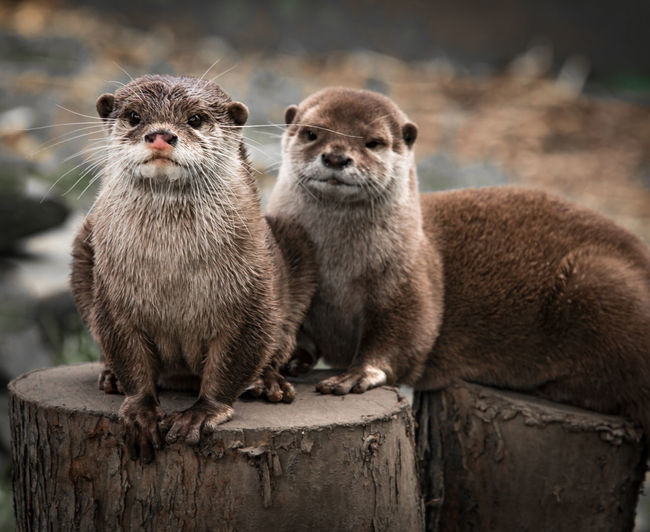Portrait of otters on tree stumps