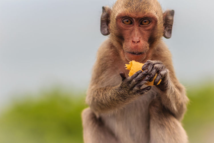 Long-tailed macaque or Crab-eating macaque (Macaca fascicularis) monkey is eating banana from the tourist. Crab-eating-macaque Eat Bananas 🍌 Long-Tailed Macaque Animal Family Animal Wildlife Animals In The Wild Baboon Banana Blurry Blurry Background Crab Eating Crab Eating Macaque Crab-eating Macaque Cute Monkey Day Eat Banana Eating Eating Banana Eating Bananas Focus On Foreground Food Food And Drink Fruit Healthy Eating Holding Long Tailed Macaque Long Tailed Monkey Long-tailed Macaca Macaca Fascicularis Macaque Macaque Monke Macaque Monkey Mammal Monkey Monkey Forest Mouth Open No People One Animal Outdoors Portrait Of Monkey Primate Tropical Vertebrate