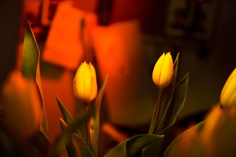 red n yellow Redlight Darkroom Tulip Plant Growth Flower Flowering Plant Beauty In Nature Close-up Vulnerability  Fragility Freshness Petal Flower Head Nature Focus On Foreground Selective Focus Outdoors Day Orange Color No People Inflorescence Yellow