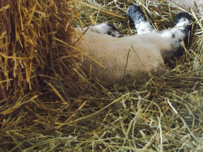 Baby Lamb Lamb And Hay Leg Of Lamb Farm Life Farmer's Life Farm Animals