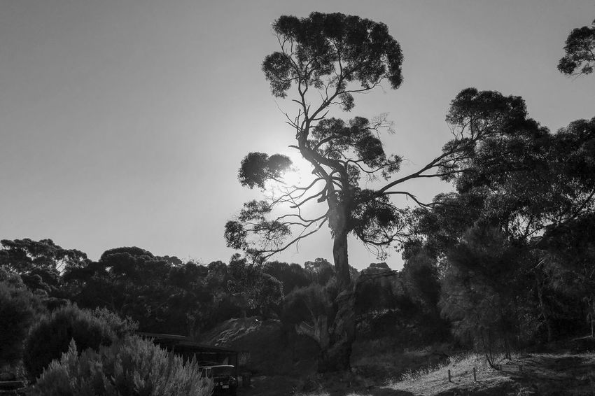 The tree Light And Shadow Black And White Monocrome Tree Growth Nature Beauty In Nature No People Outdoors Day Tranquility Clear Sky Scenics Sky Plant Branch Landscape