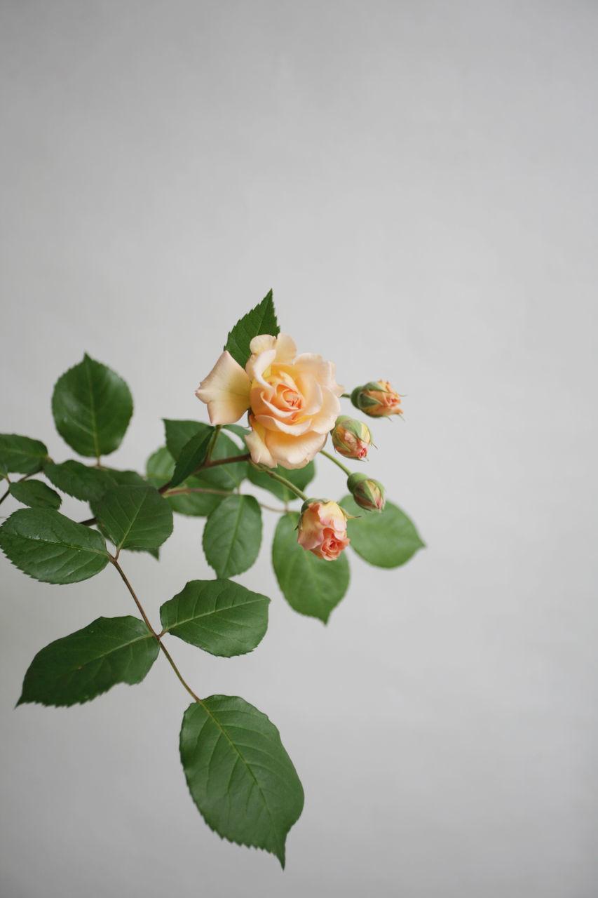 leaf, plant, plant part, beauty in nature, flower, freshness, nature, rose, fragility, vulnerability, flowering plant, rose - flower, close-up, petal, studio shot, green color, copy space, flower head, inflorescence, no people, leaves