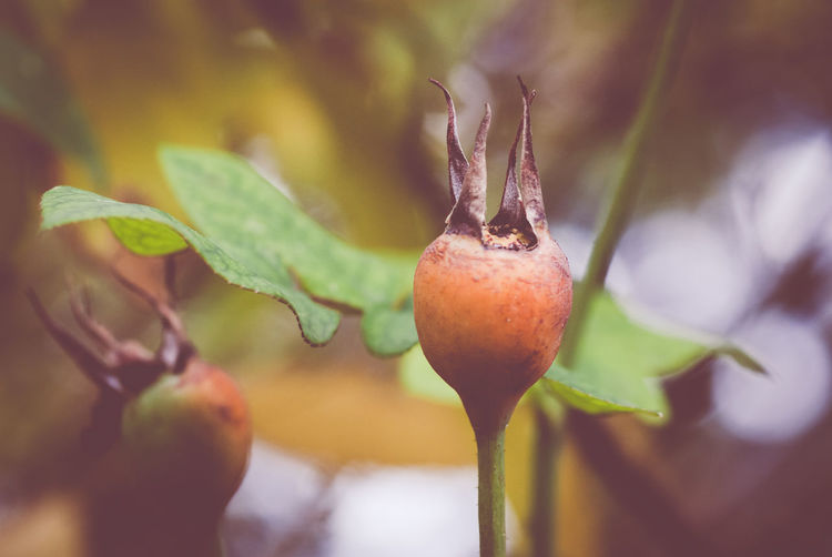 rose hip - autumnal gardens Autumn Colors Beauty In Nature Beginnings Bud Close-up Focus On Foreground Fragility Freshness Green Color Growing Growth Leaf Nature No People Organic Outdoors Part Of Plant Red Ripe Rose Hip Rosegarden Selective Focus Stem Twig